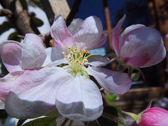 Apple Buds And Blossom by rattus-bavariae
