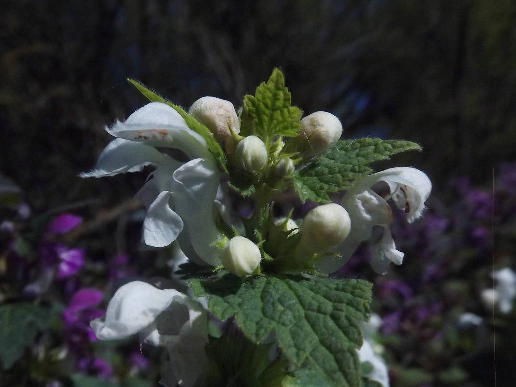White Dead Nettle 2 by rattus-bavariae