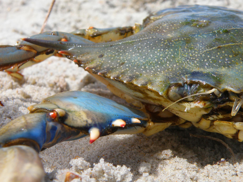 Blue Crab by BloodyMinded6