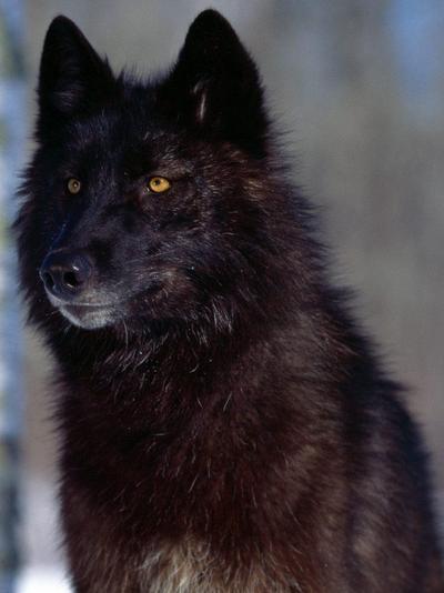 Blackwolf by Creative-Thinking-x