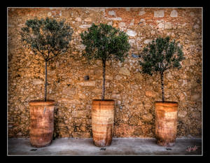 Little Olive Trees
