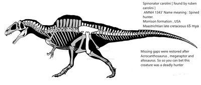 Spinonator carolini skeleton