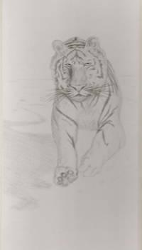 not a liger