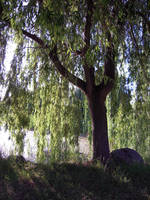 Weeping Willow Stock 6 by SimplyBackgrounds