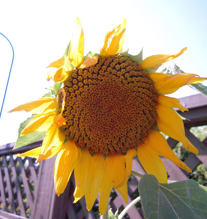 Sunflower Stock 1 by SimplyBackgrounds
