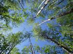Tree Tops Stock