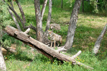 Coyote Stock by SimplyBackgrounds