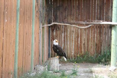 Bald Eagle Stock 01 - 2014