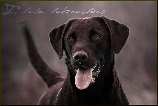 Labrador by elenadkins