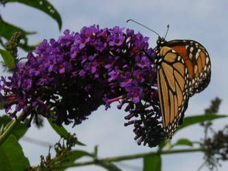 Monarch Butterfly by IheartArt4ever