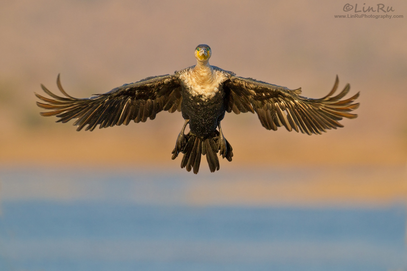 Cormorant Pose by LinRuPhotography