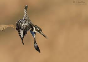 Kingfisher Dive by RudiVanDenHeever