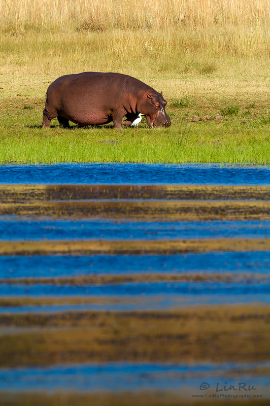 Mankwe Hippo by LinRuPhotography