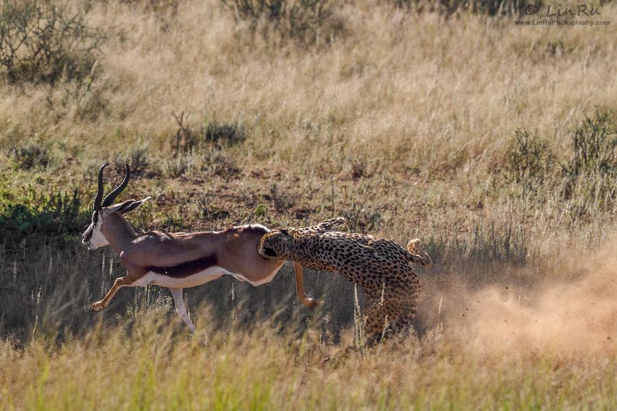 Kgalagadi Cheetah Kill by LinRuPhotography