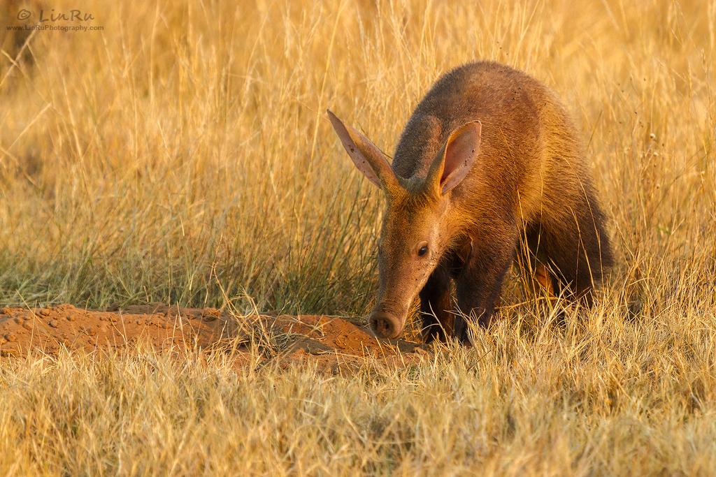 Marakele Aardvark by LinRuPhotography