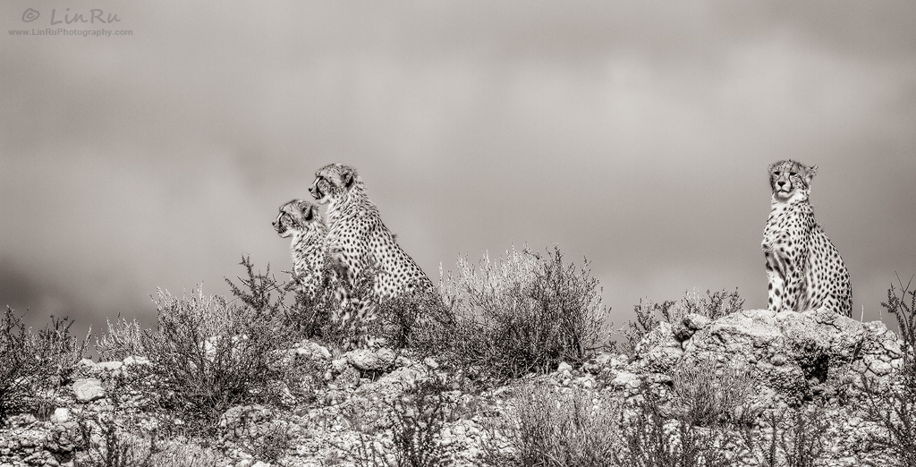 Three Cheetah Teens by LinRuPhotography