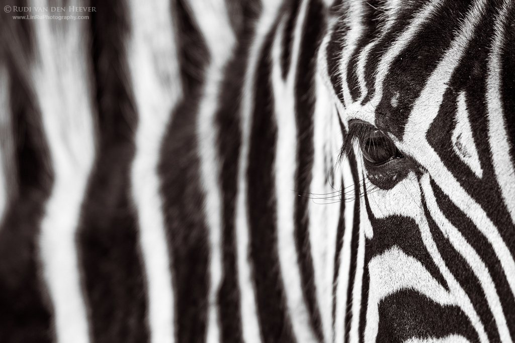 Monochrome Zebra Portrait by LinRuPhotography