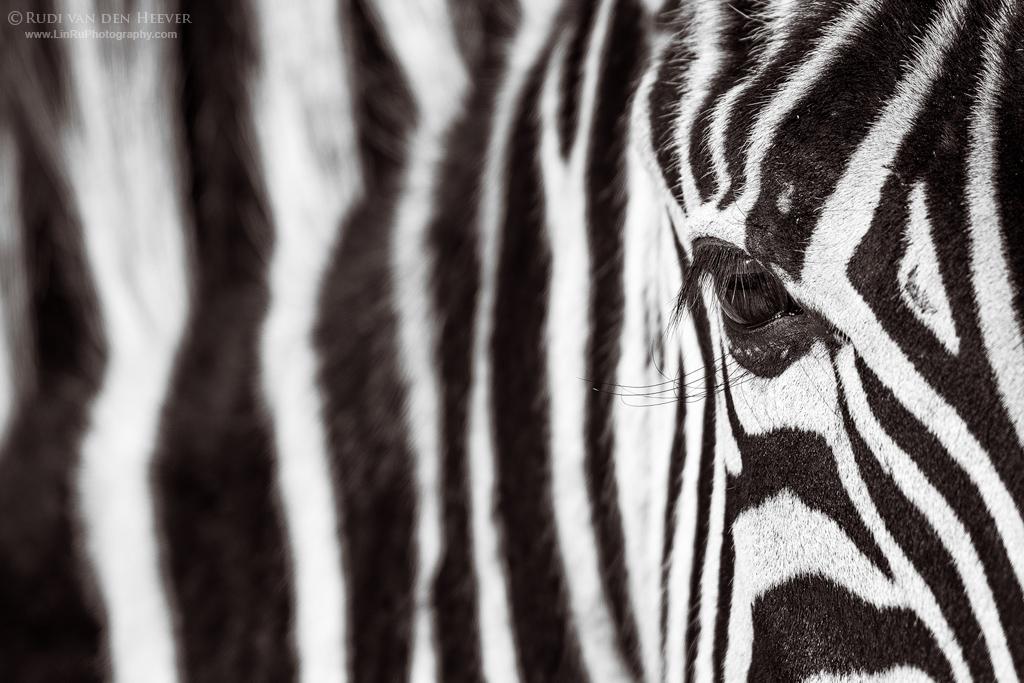 Monochrome Zebra Portrait