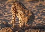Cheetah Sundowner
