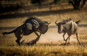 Playing Wildebeest by RudiVanDenHeever