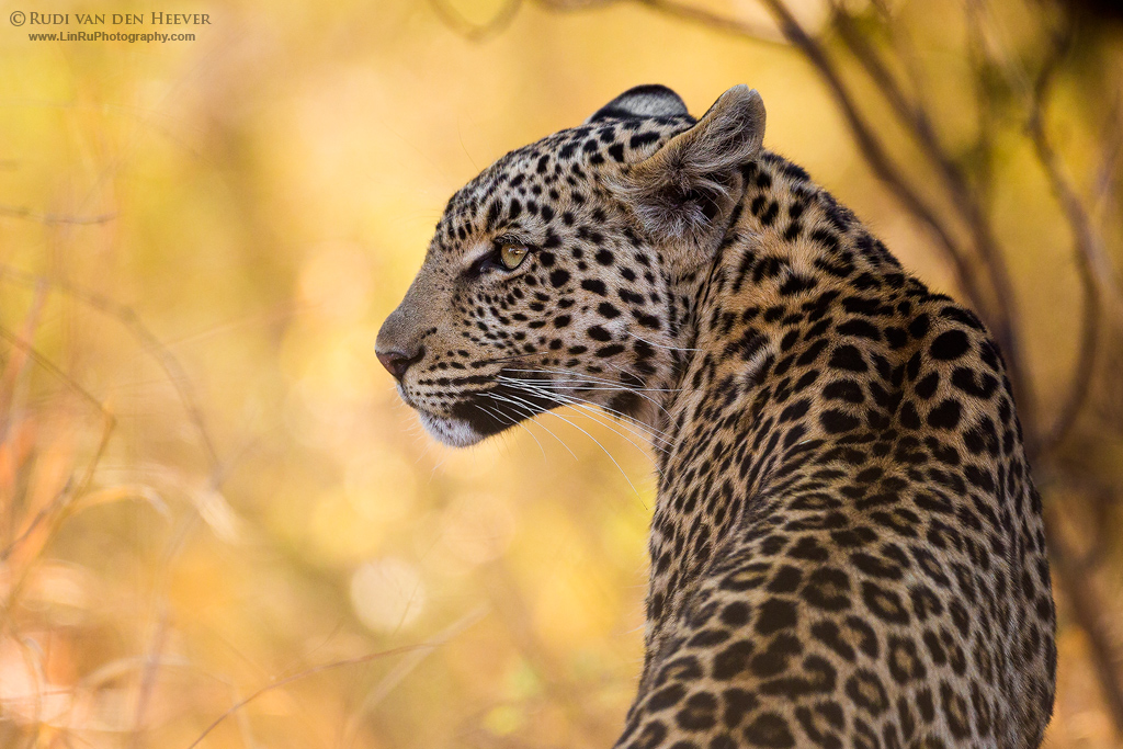 Kgabo Leopardess by LinRuPhotography