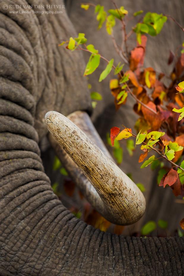 Mopani Elephant X by LinRuPhotography