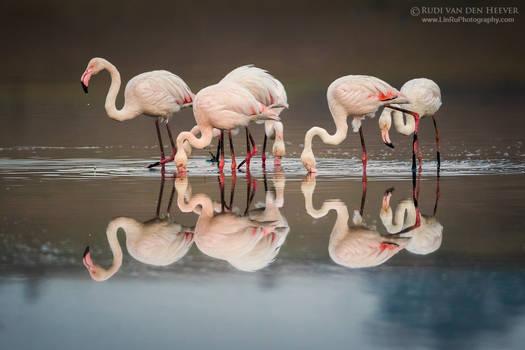 Twelve Feeding Flamingos
