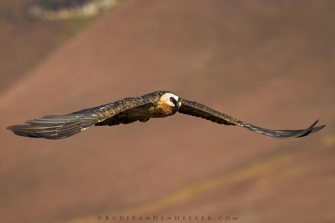 Gliding Lammergeier by RudiVanDenHeever