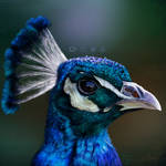 Peacock by MomoDoesArts