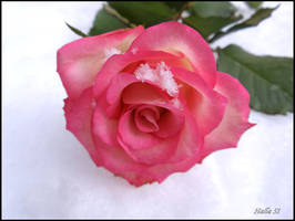 frosty rose 5 by Halla51