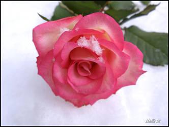 frosty rose 5 by Halla51