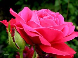 Rose 100 by Halla51