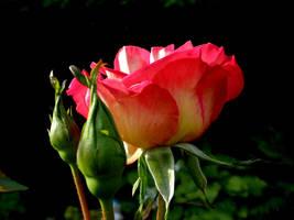 Rose 94 by Halla51