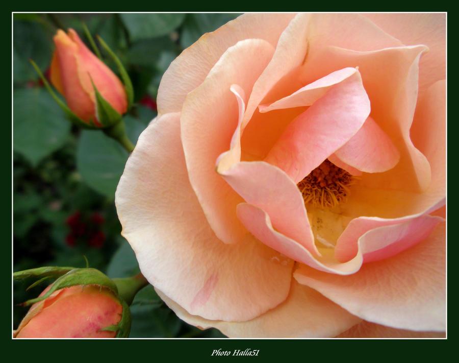 rose 463 by Halla51
