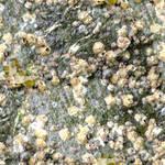 Barnacles on Granite Texture