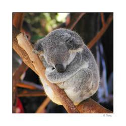 Sleeping koala cub by Arnstein