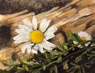 Daisys by tadamson
