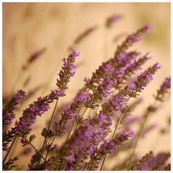 Lavender by IrethLossehelin