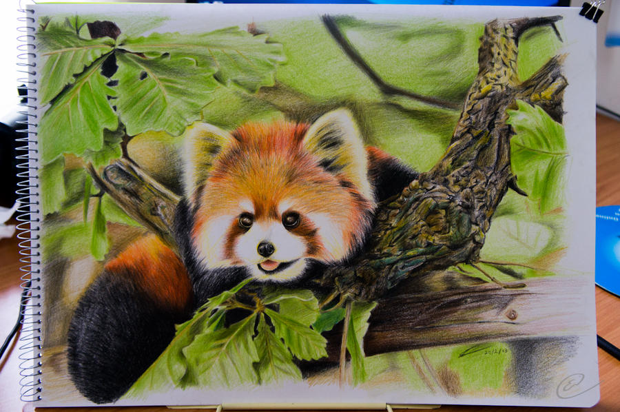 red panda colour sketch by kiwikid888 on deviantart