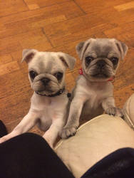 The kray  twin puppies  by skullpunk666girl