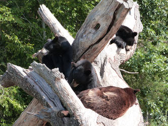 Take an afternoon nap for bears