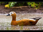 Duck_1 by Marcello-Paoli