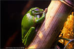 New Guinea Tree Frog