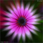 Floral Explosion by Marcello-Paoli