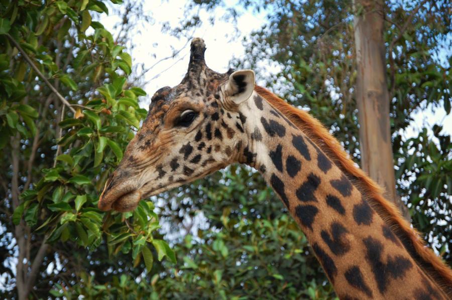 Giraffe II by CrazyRabidPony