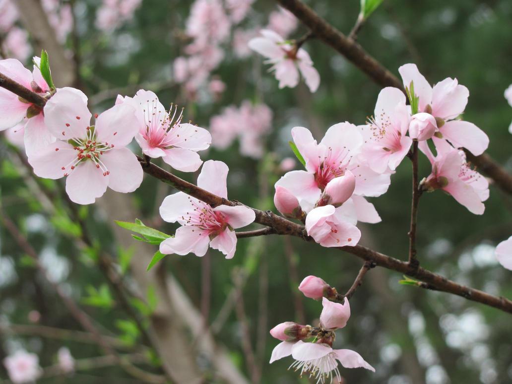 peach tree in bloom by DragonladysLair on DeviantArt Peach Tree Flowers