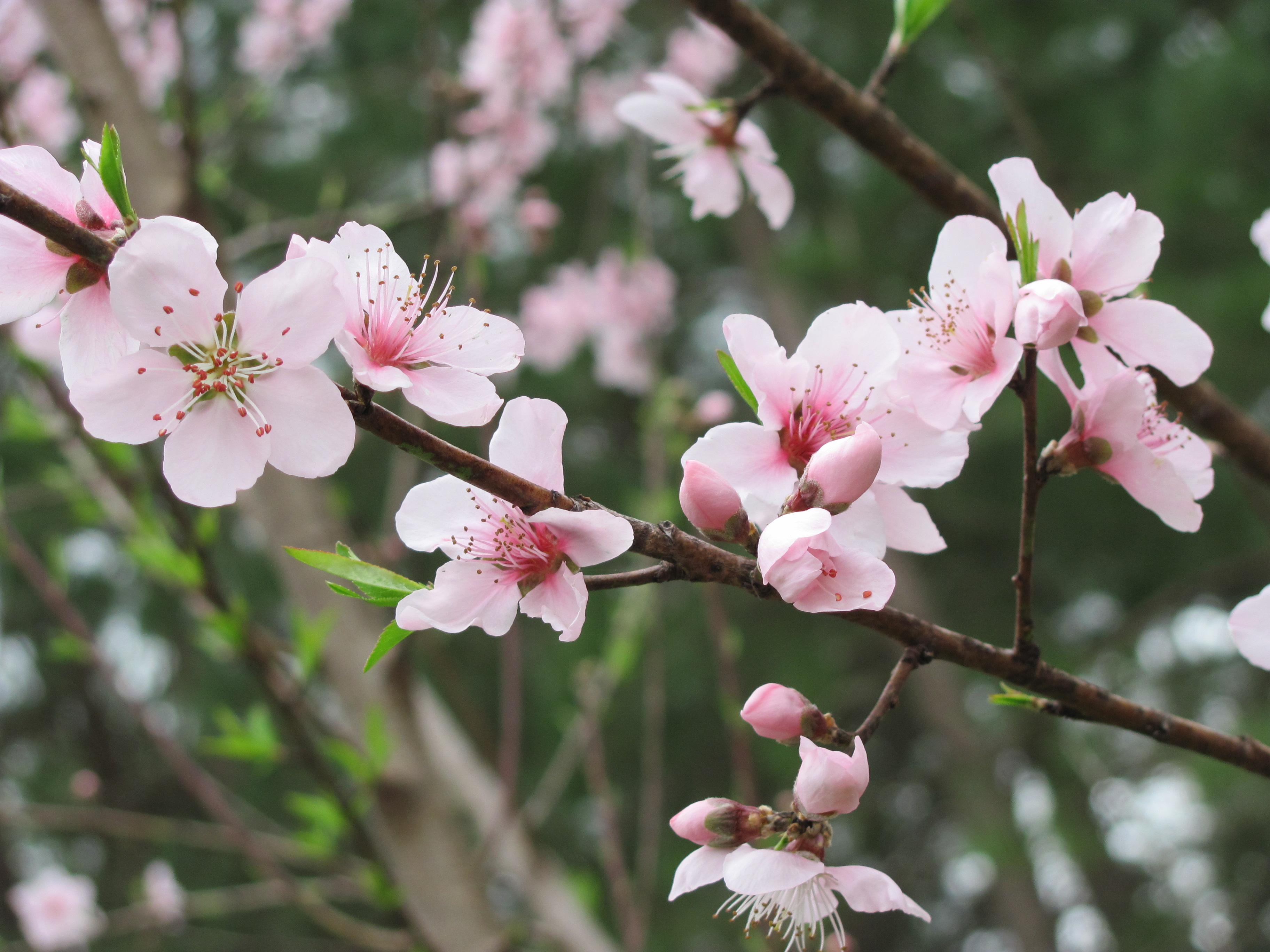 peach tree in bloom by DragonladysLair on DeviantArt