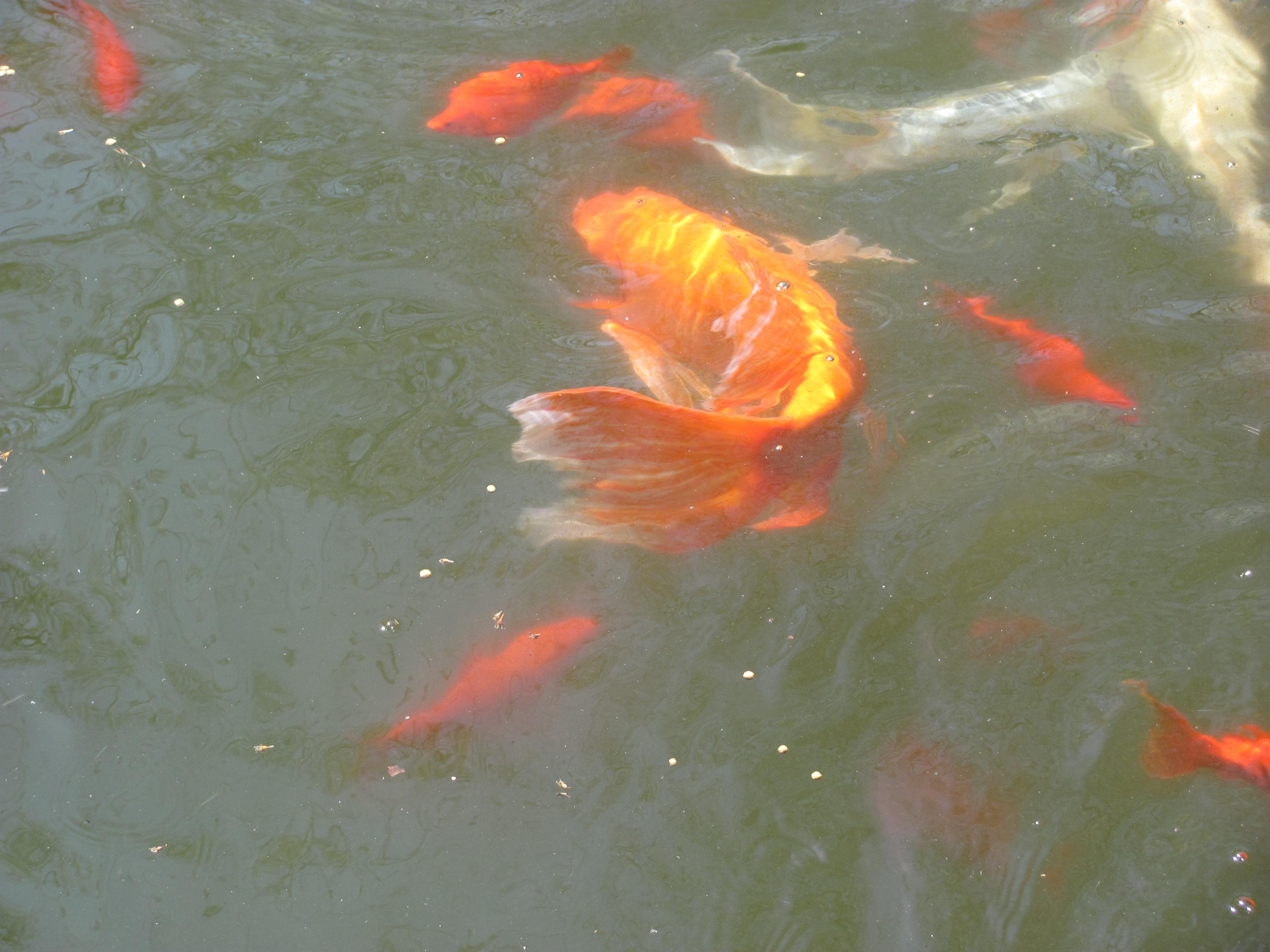 Koi and gold fish 1 by dragonladyslair on deviantart for Goldfisch und koi