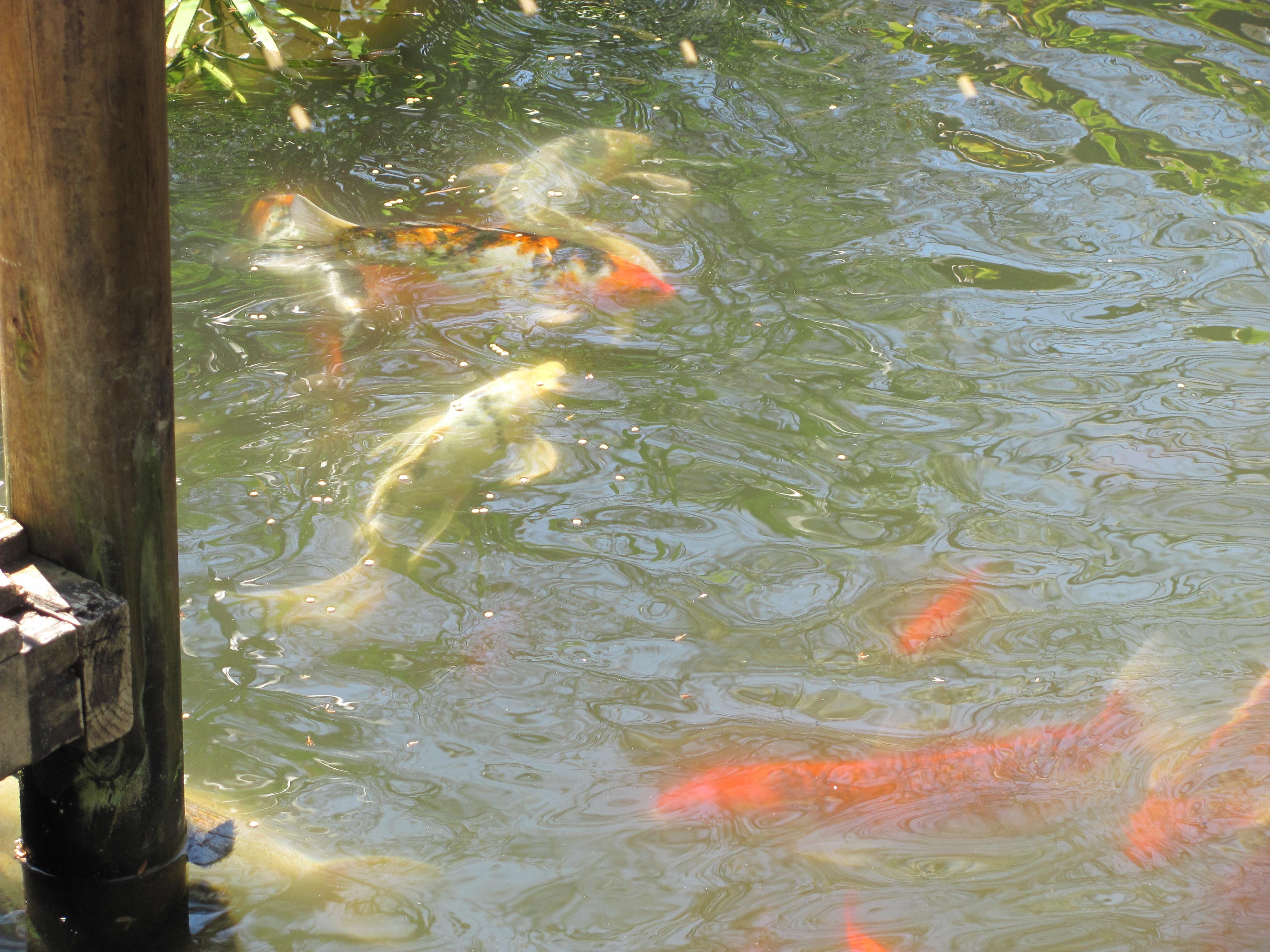 Koi and gold fish 2 by dragonladyslair on deviantart for Goldfisch und koi