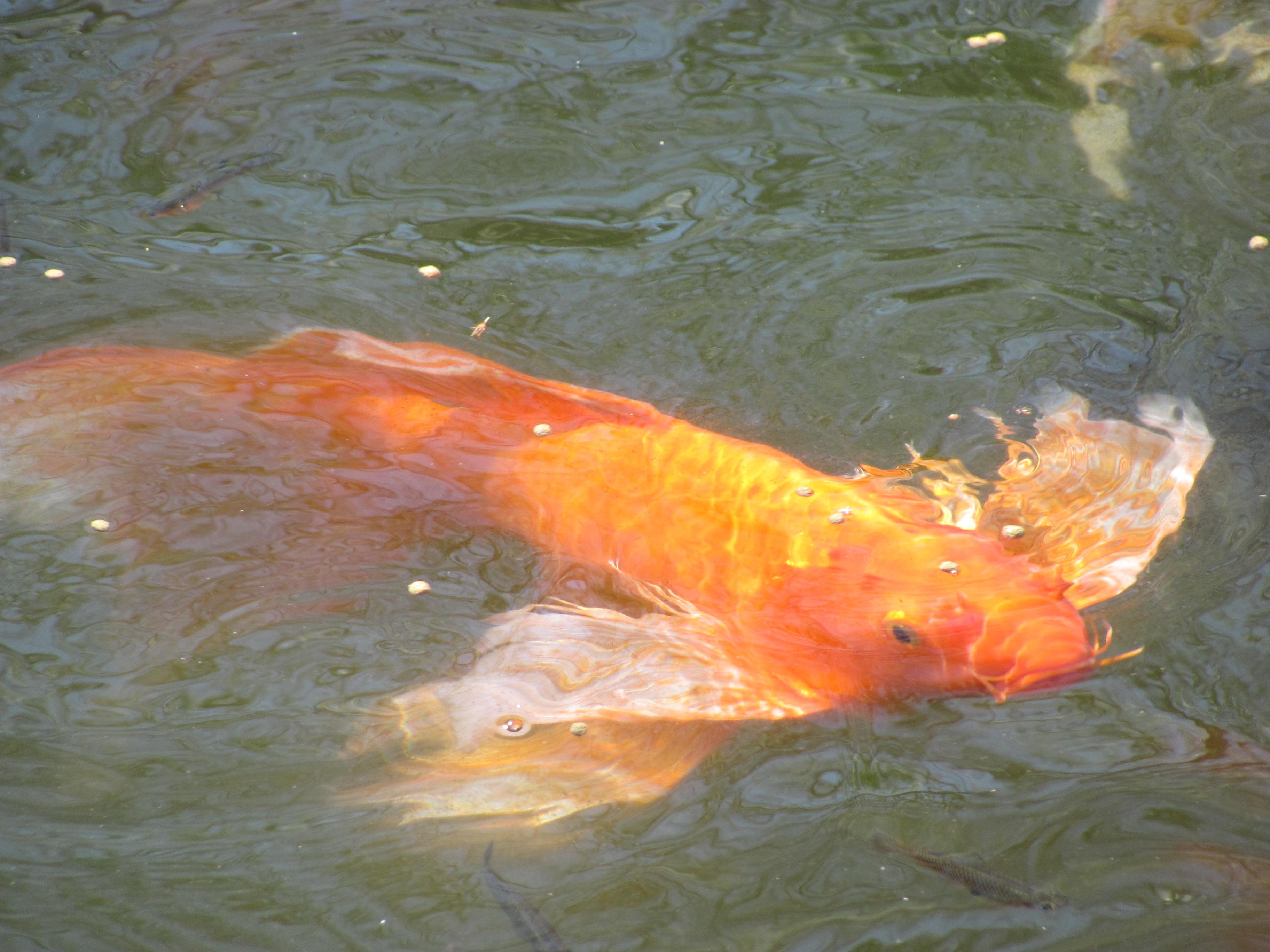 Koi and gold fish 3 by dragonladyslair on deviantart for Goldfisch und koi